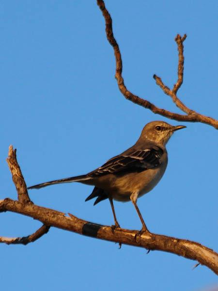 Northern Mockingbird - Afterglow