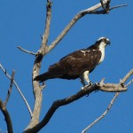 Osprey - Poised