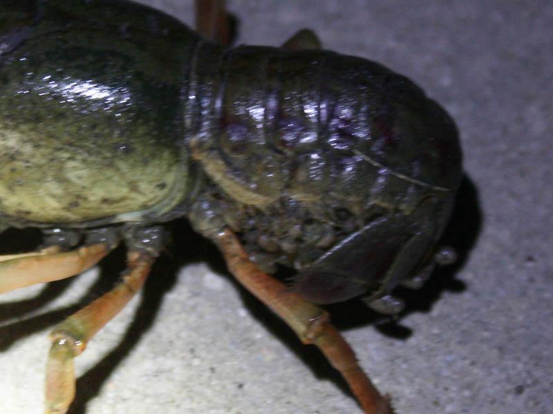 Parkhill Prairie Crayfish - The Blue Trail