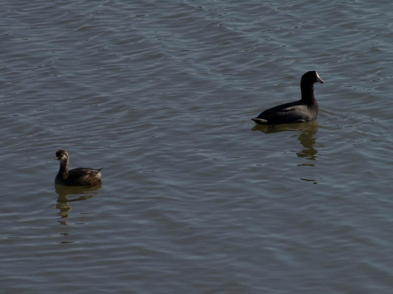 Pie-billed Grebe - With an American Coot