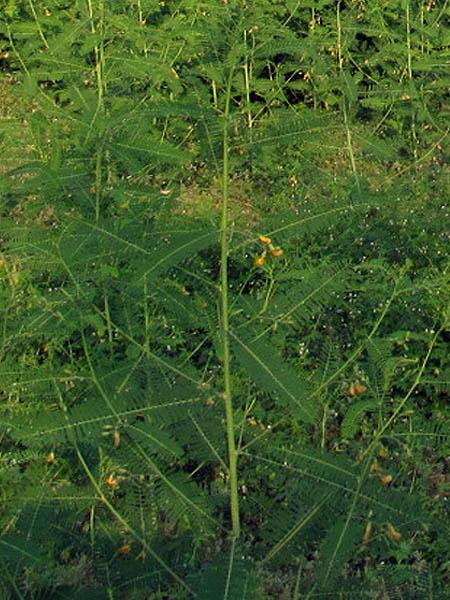 pondplant02