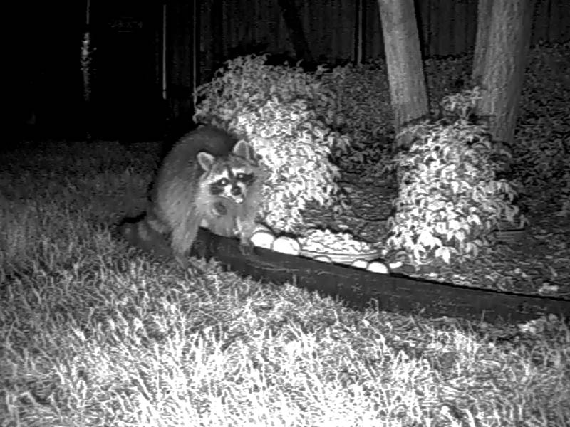 Raccoon - Peanut Munch