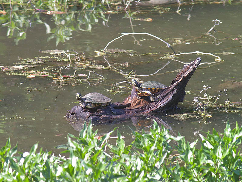 Red-eared Slider - White Rock Pond