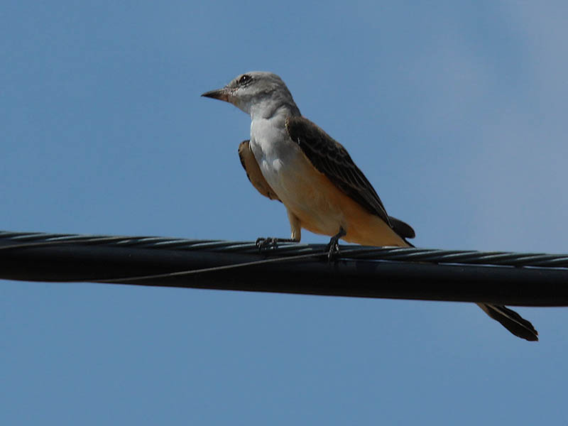Scissor-tailed Flycatcher - At Summer's End
