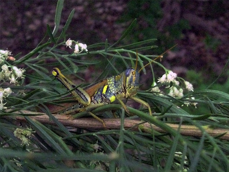 Spotted Bird Grasshopper - Aposematic Form