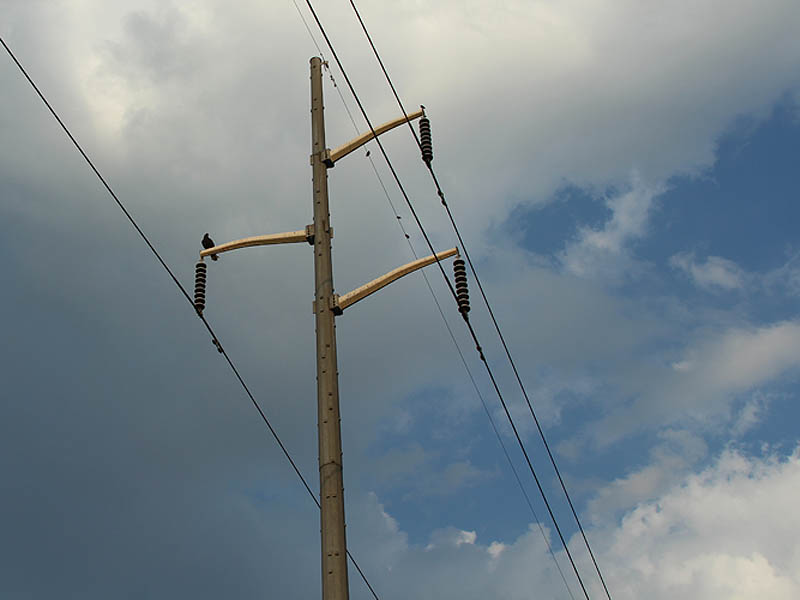 Turkey Vulture - Power Lines