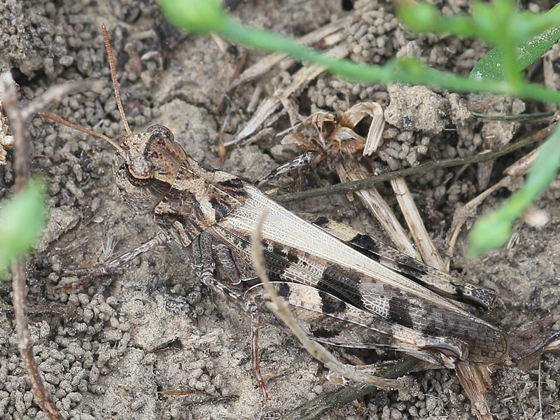 Western Clouded Grasshopper - Camouflaged