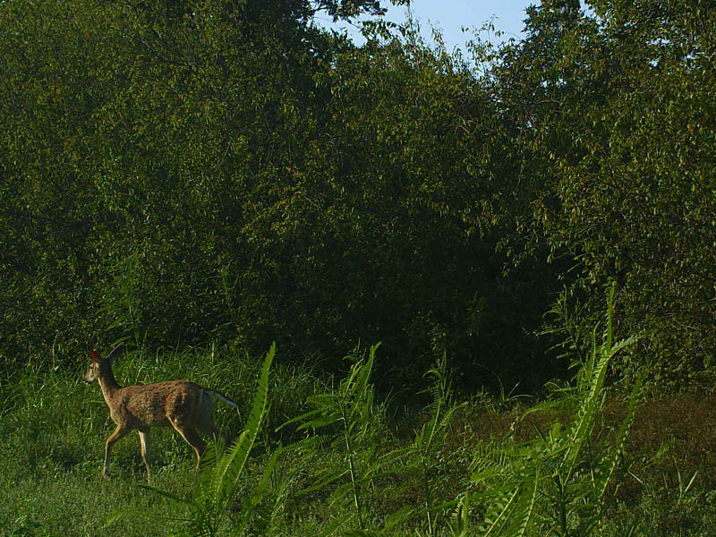 White-tailed Deer - Lewisville Lake Montage