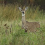White-tailed Deer - Meadowmere