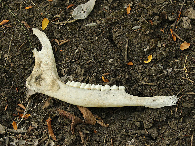 White-tailed Deer - Skeleton