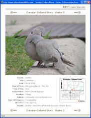 A Eurasian Collared-dove Observation.
