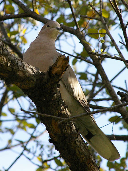 Eurasian Collared-dove - Park Land
