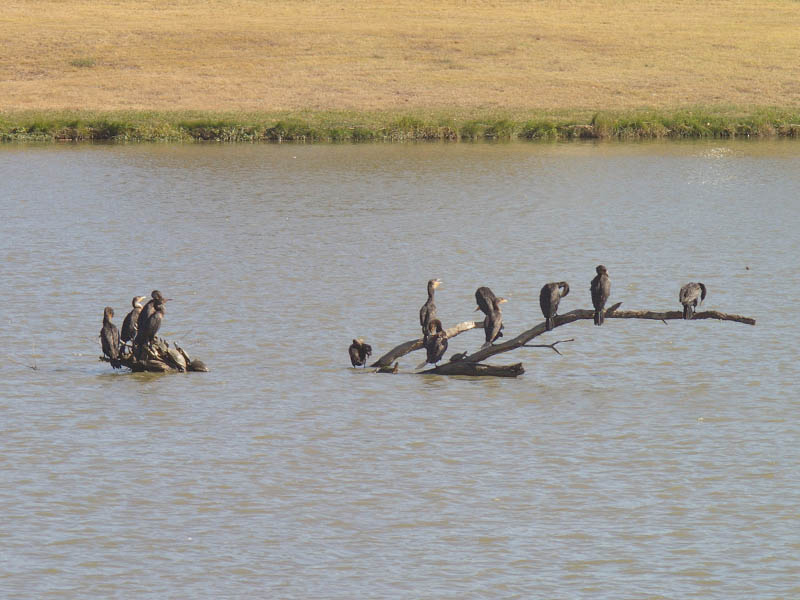 Neotropic Cormorant - At Woodlake Pond