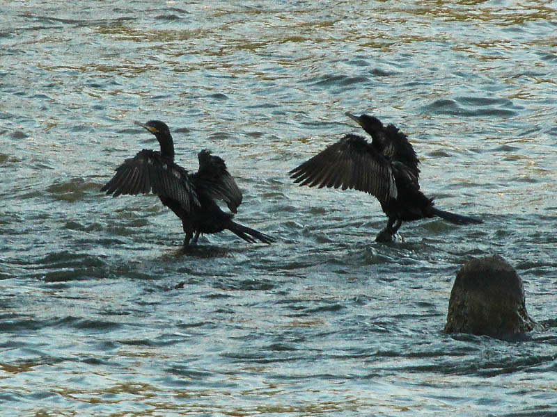 Neotropic Cormorant - Double Dipping