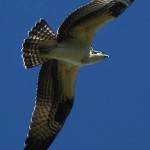 Osprey - Over the Fish Hatchery