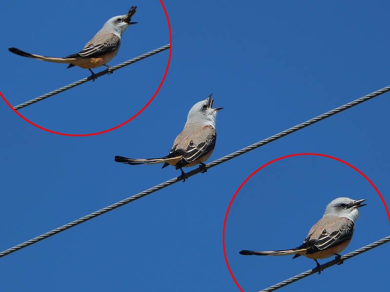 Scissor-tailed Flycatcher - Bounty