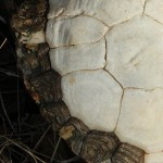 Three-toed Box Turtle - Side by Side
