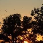 Barn Swallow - Sunset