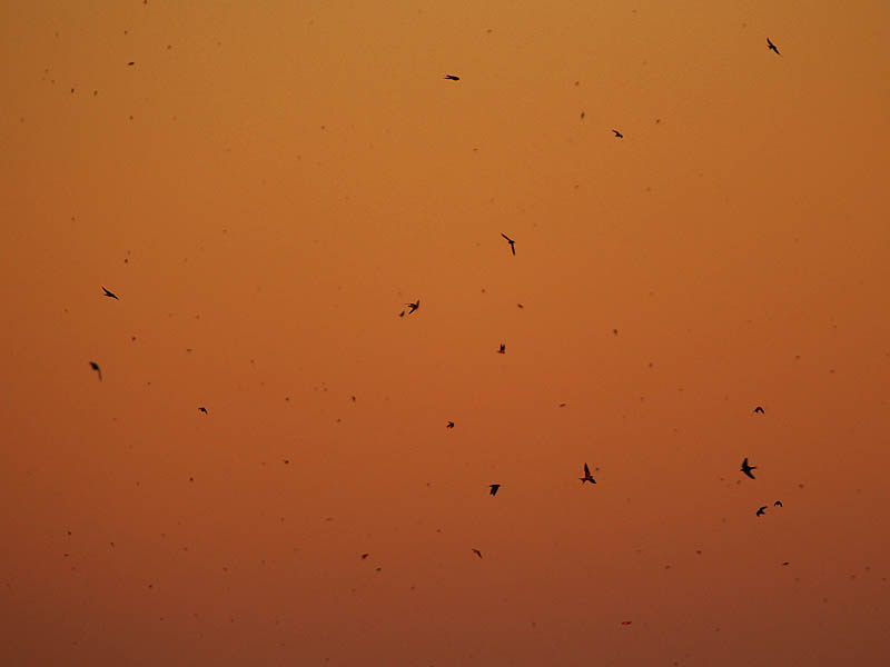Barn Swallow - Sunset