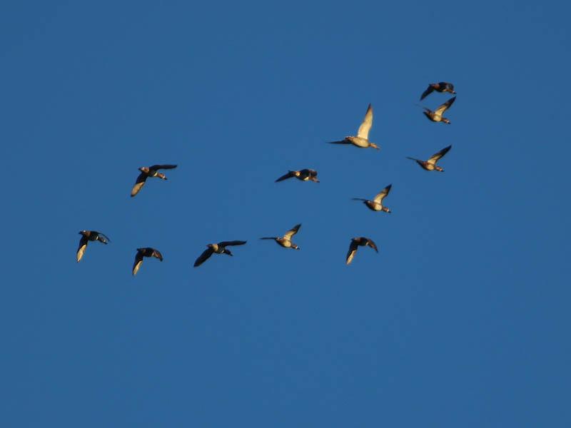 Blue-winged Teal - Skyful