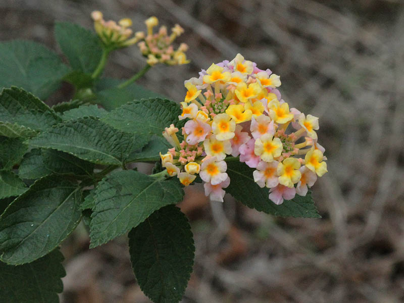 A Lantana blossom.  Evidence that a house had once been nearby?