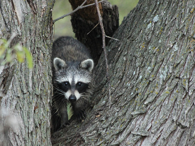 An inquisitive young Raccoon.