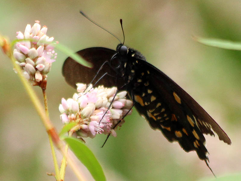 A Pipevine Swallowtail.