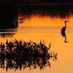 Great Blue Heron - Silhouette