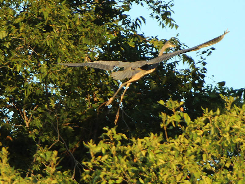 Great Blue Heron - The End of the Day