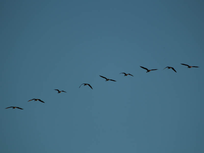 Greater White-fronted Goose - Flyby