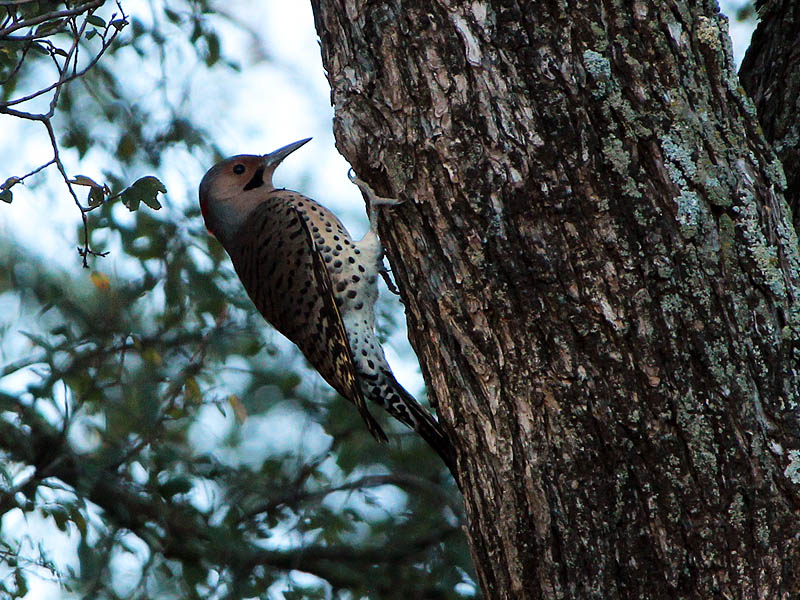 Yellow-shafted Norther Flicker