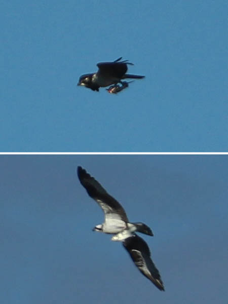 Two different Osprey photographed near the Trinity River.  Each is carrying a captured fish.