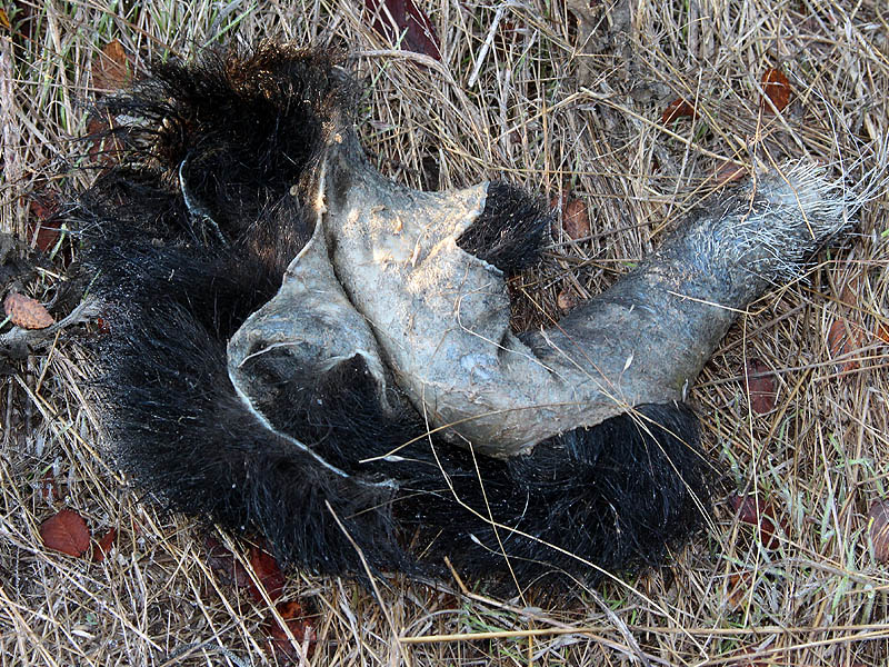 Despite their formidable defense Striped Skunks are preyed on by many of our resident predators.  This skin is all that remains of a recently killed skunk.