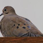 Mourning Dove - Neighbors