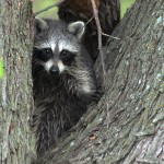 Raccoon - Encounter
