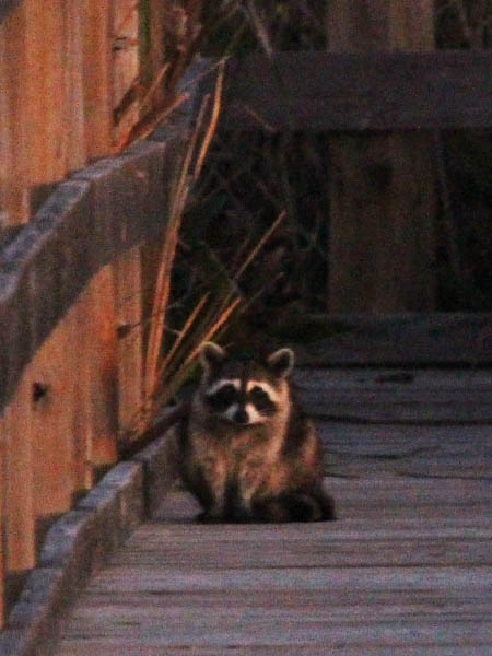 Raccoon - On the Boardwalk