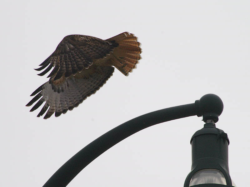 Red-tailed Hawk - Overcast