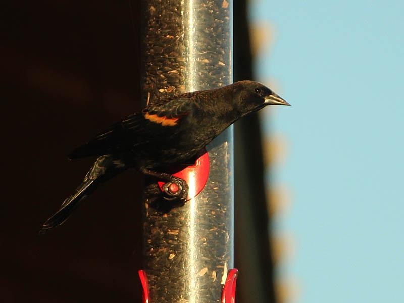 Red-winged Blackbird - On a Bird Feeder