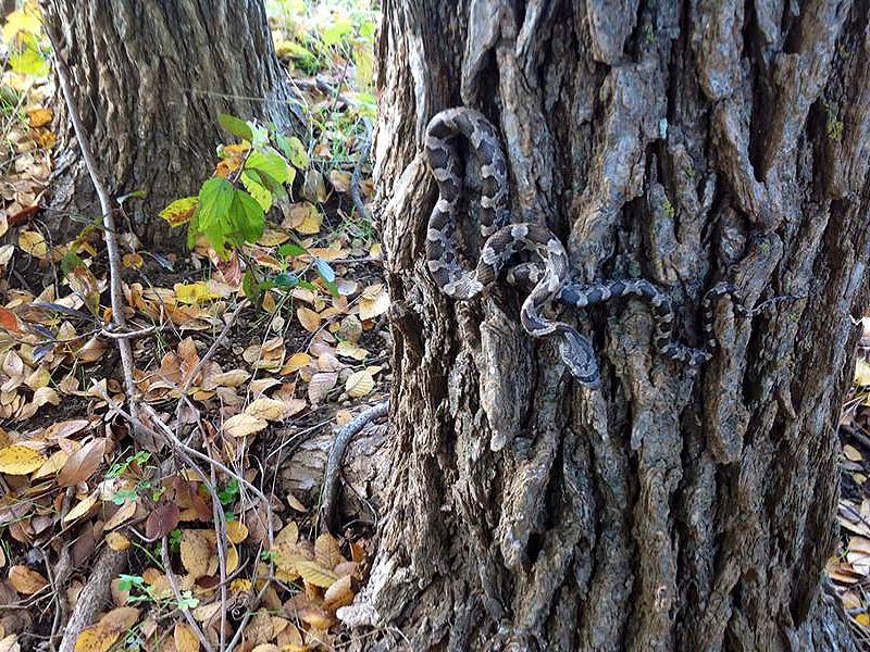 Texas Rat Snake - Going Vertical