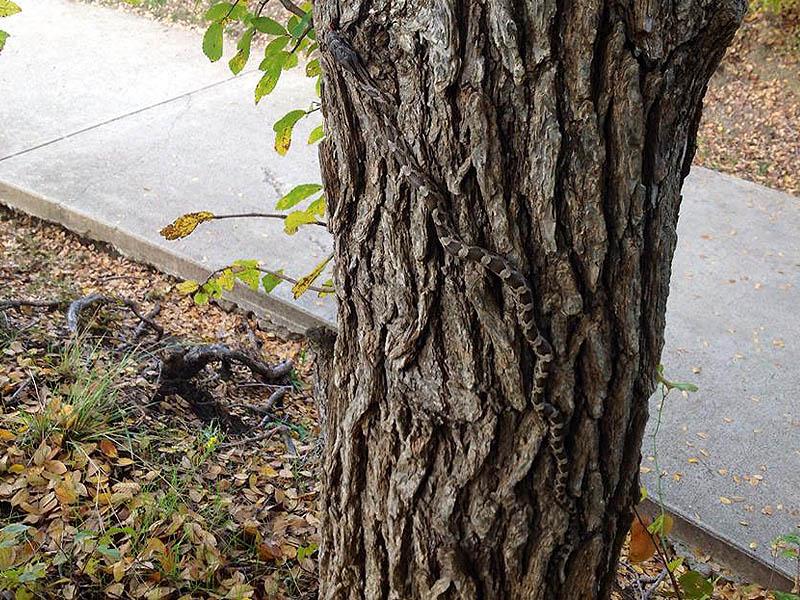 Texas Rat Snake - Going Vertical02