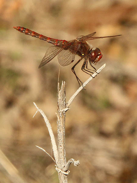A male Variegated Meadowhawk.
