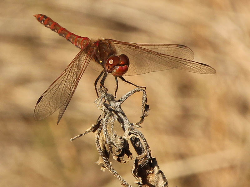 Variegated Meadowhawk - Egg Laying