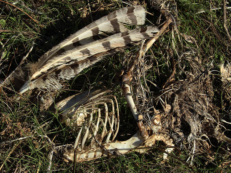 A great Horned Owl carcass.