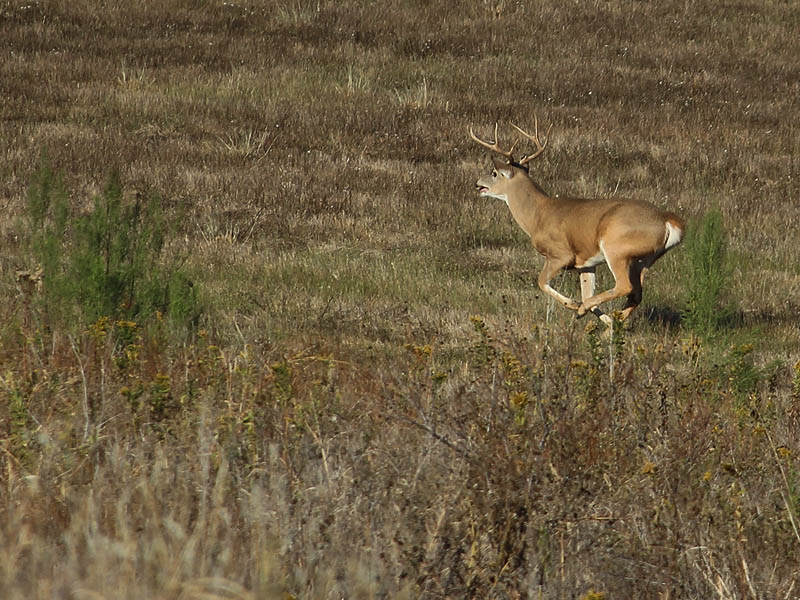 White-tailed Deer - Big Buck