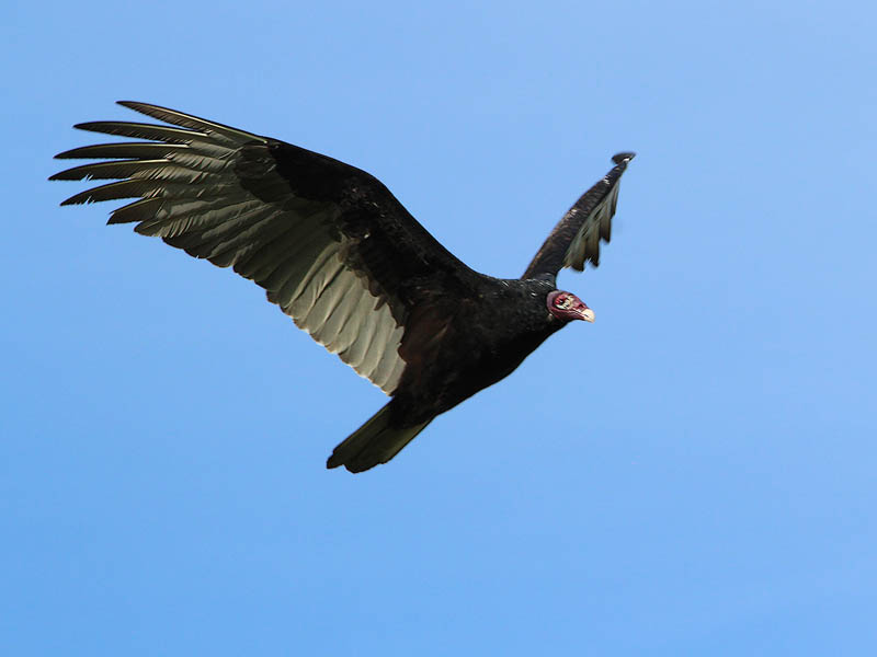 Turkey Vulture - The Roost Run