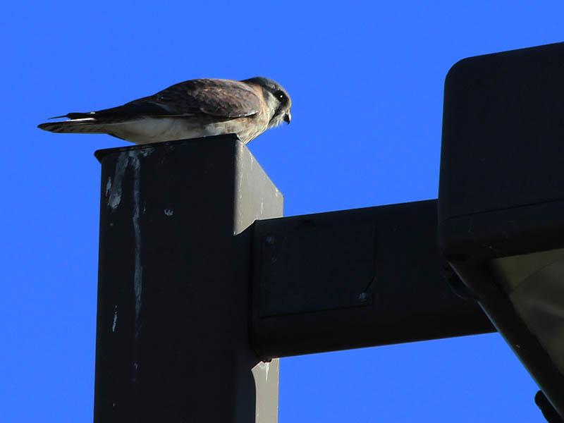 American Kestrel - Hover