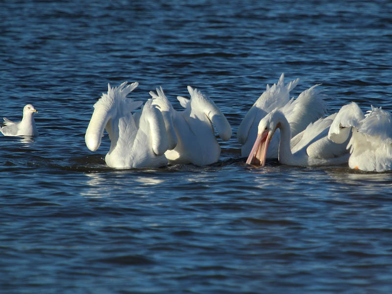 American White Pelican - Winter at White Rock