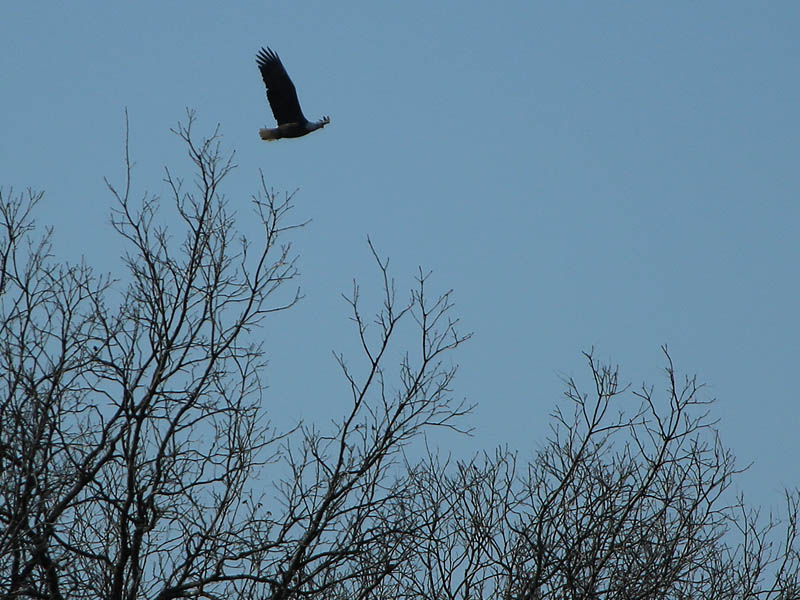 Bald Eagle - They're Back!