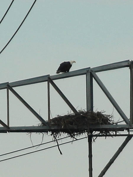 A short time after we arrived on site, so did the other adult eagle.