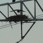 Bald Eagle - Nest: Week One